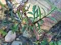 Centranthus calcitrapa Inflorescence 04April2009 DehesaBoyalPuertollano.jpg