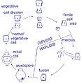 Centric diatom life-cycle.jpg