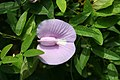 Centrosema virginianum-Big Talbot Island.jpg