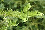 Cephalotaxus-harringtonia-needles.jpg
