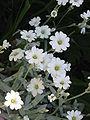 Cerastium tomentosum02.jpg