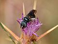 Ceratina chalcites female 2.jpg
