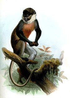 White-throated guenon Species of Old World monkey