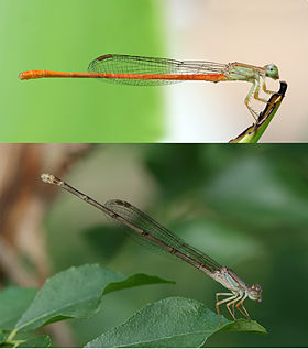 Ceriagrion glabrum male and female.jpg
