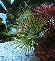 Cerianthus membranacea - Zoo Frankfurt 3.jpg