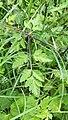 Chaerophyllum temulum leaf (21).jpg