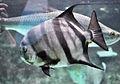 Chaetodipterus faber Captivity.jpg