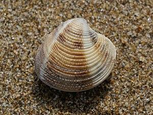 Striped venus clam near Riumar, Baix Ebre, Cat...
