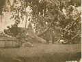 Charter oak fallen 1856.jpg