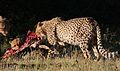Cheetah, Acinonyx jubatus, at Pilanesberg National Park, Northwest Province, South Africa. (27513048801).jpg