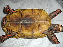 Plastron view of an adult male red-footed tortoise showing pale coloration and central darker markings, male tail and anal scutes, and plastron indentation