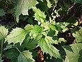 Chenopodium murale sl62.jpg