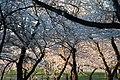 Cherry blossoms 0022 - Washington DC - 2014-04-10 (13783352625).jpg