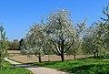 Cherry trees - Sasbach 01.jpg