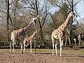 Chester Zoo (9337541978).jpg
