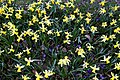 Chigwell Meadow Essex England - daffodils and crocuses 2.jpg