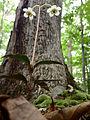Chimaphila maculata - Spotted Wintergreen.jpg