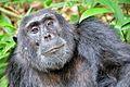 Chimpanzee, Kibale, Uganda (15059241309).jpg