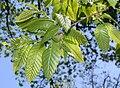 Chinese Chestnut (Castanea mollissima) leaf detail springtime.jpg