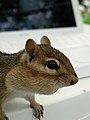 Chipmunk stockpile (1310335897).jpg