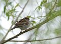 Chipping Sparrow (34249272052).jpg
