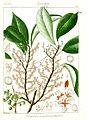 Chloripetalum aurantiacum Govindoo.jpg