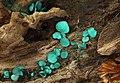 Chlorociboria-aeruginascens.jpg