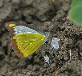 Chocolate Albatross (Appias lyncida)- Male at Jayanti, Duars, West Bengal W IMG 5612.jpg