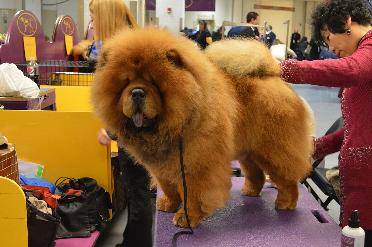 Chow Dog Breed For Sale