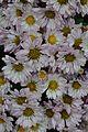 Chrysanthemum - Science City - Kolkata 2012-01-11 8020.JPG