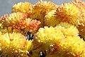 Chrysanthemum Hankie 0zz.jpg
