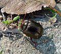 Chrysolina banksi . Chrysomelidae - Flickr - gailhampshire (1).jpg