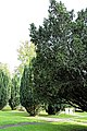 Church of St Andrew, Nuthurst, West Sussex - churchyard yew trees.jpg