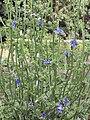 Cichorium endivia flower.jpg