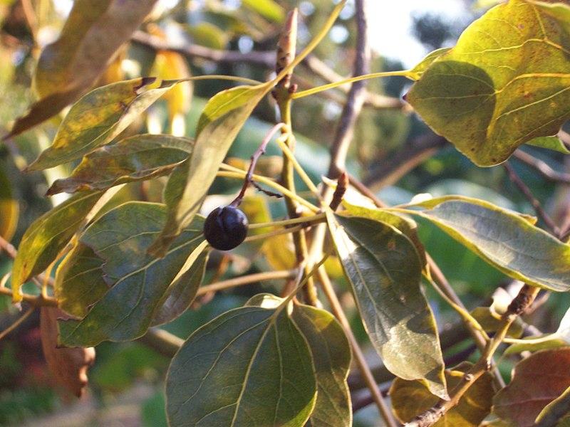 Fichier:Cinamommum camphora fruit.JPG