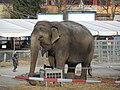 Circus Knie - Elephas maximus - Rapperswil - Südquartier 2013-03-22 15-48-55 (P7700).JPG