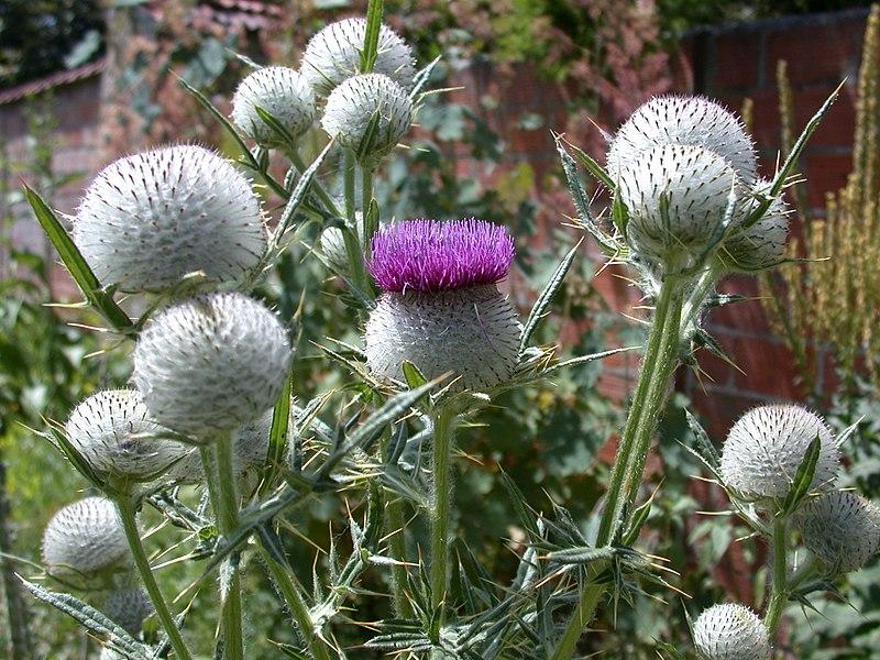 fleurs du circe laineux ou chardon