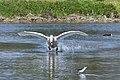 Cisne Blanco levantando el vuelo.jpg
