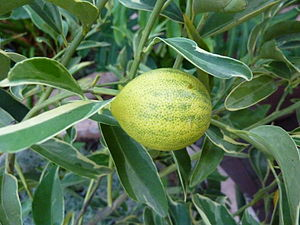 Kumquat - 'Centennial Variegated' kumquat fruit