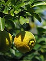 Citrus trifoliata Poncyria trójlistkowa 2011-09-11 06.jpg