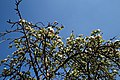 City of London Cemetery and Crematorium ~ Café apple blossom 02.jpg