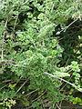 Clematis phlebantha (20769361073).jpg