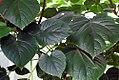 Clerodendrum speciosissimum 0zz.jpg