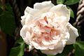 Climbing Rose Flower Hampshire UK.jpg