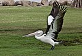 Clontarf Pelican take off-02 (6843260656).jpg