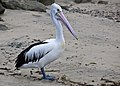 Clontarf Pelican waiting for dinner-4 (4649613546).jpg