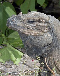 Close-up head and shoulder shot of iguana looking to the left.jpg