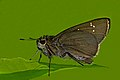 Close wing position of Caltoris cahira austeni Moore, 1883 - Austen's swift WLB DSC 4180.jpg