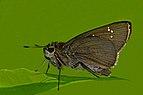 Close wing position of Caltoris cahira austeni Moore, 1883 - Austen's swift WLB DSC 4180.jpg