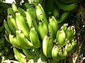 Cluster of bananas.jpg